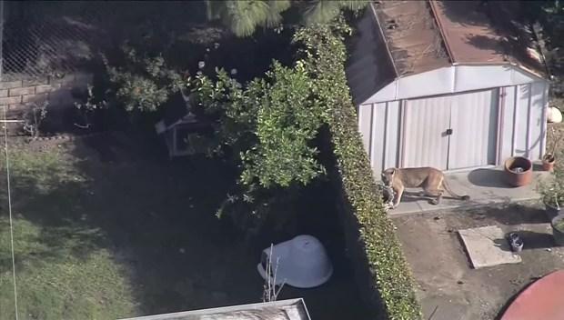 [DFW] Video Captures Mountain Lion Jump Fence