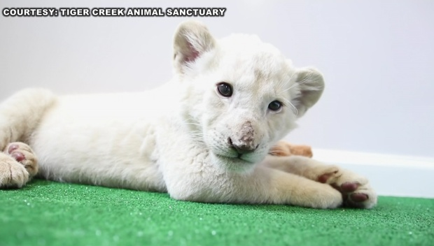 [DFW] Endangered White Lion Cub on Display at Texas Sanctuary