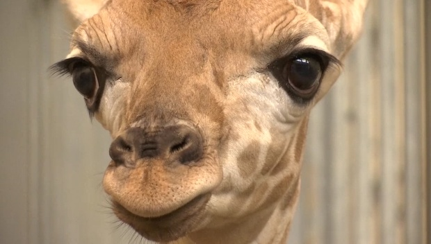 [DFW] Baby Giraffe Born at Texas Zoo