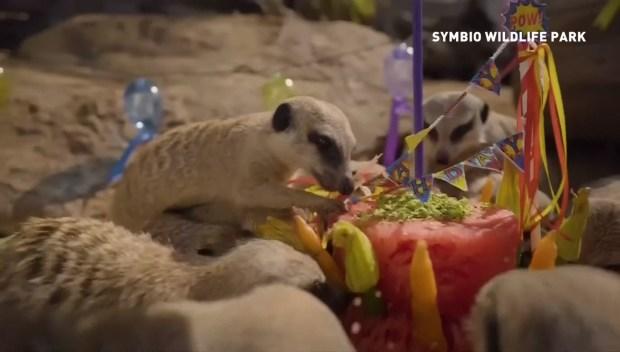 [DFW] Adorable Meerkats Celebrate Birthday