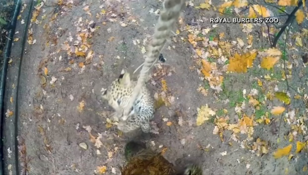 [DFW] Caught on Camera: Leopard Cubs Play With Rope