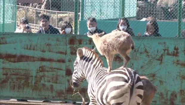 [DFW] Zebra-Riding Goat Pleasing Crowds