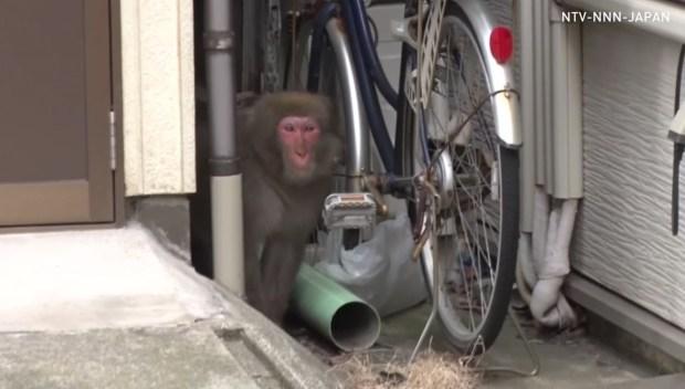 [DFW] Wild Monkey Loose in Japan City