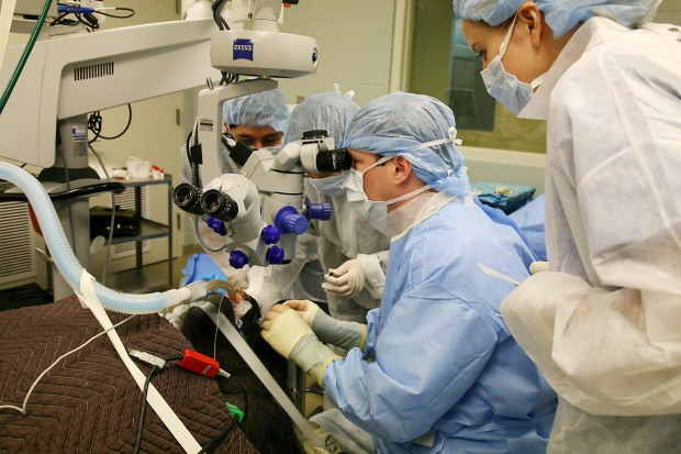 Gorilla Undergoes Cataract Surgery