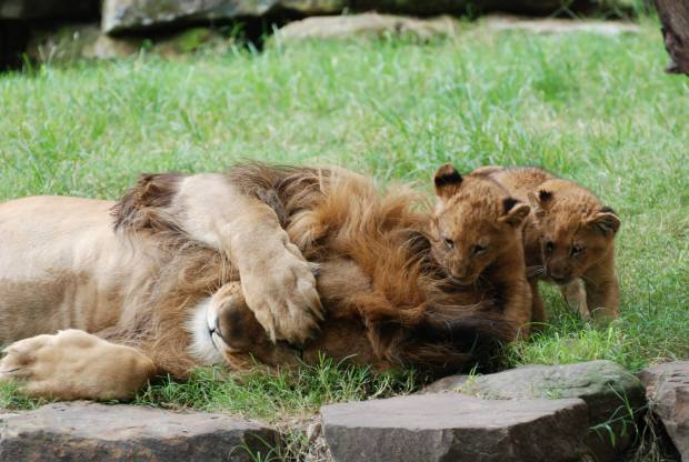 Fort Worth Lion Meets Cubs