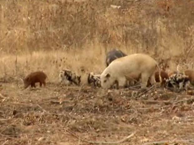 [DFW] Waging War on Wild Hogs
