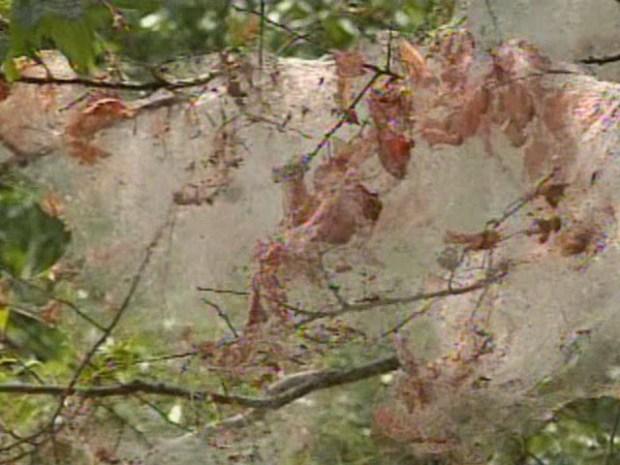 [DFW] Web Worms Invade North Texas
