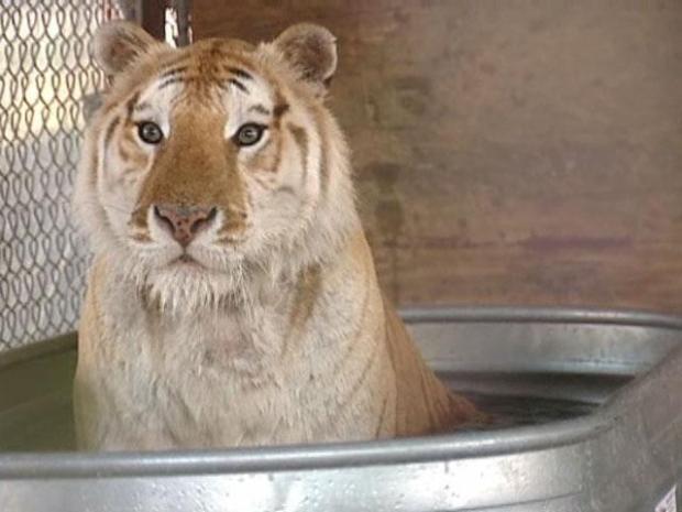 [DFW] Rare Tiger Undergoes Chemo