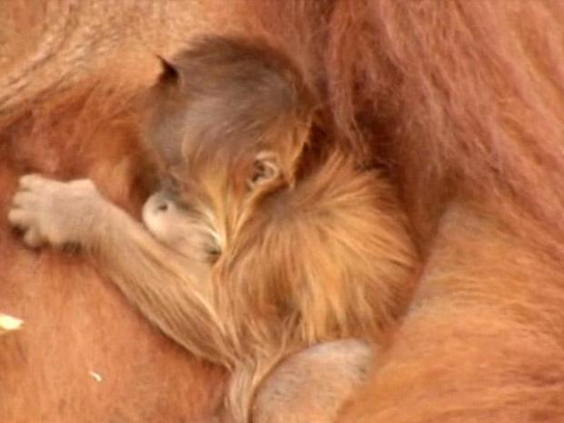 [DFW] FW Zoo Welcomes Baby Orangutan