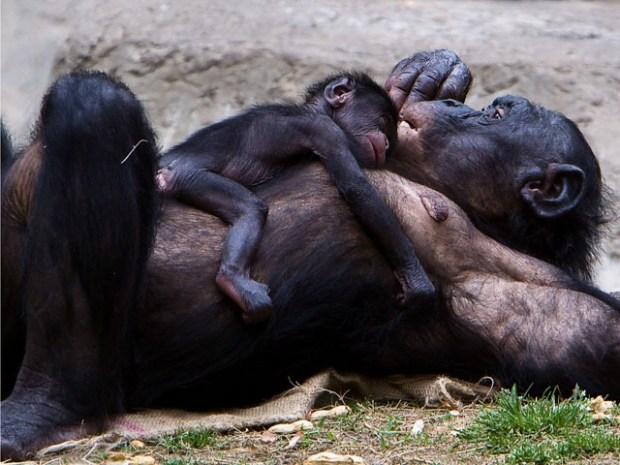 [DFW] It's a Girl! Baby Bonobo Born at the FW Zoo