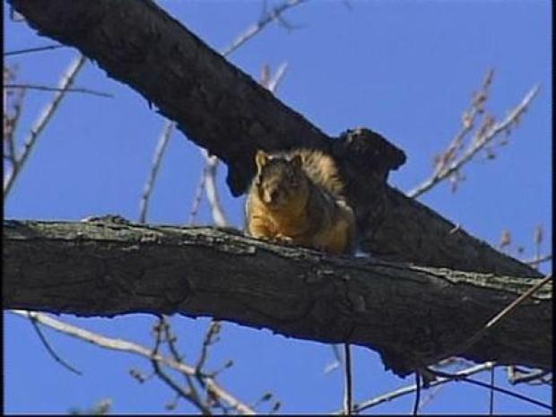 [CHI] Squirrels Now Least of Homeowner's Problem