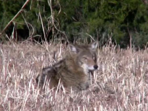 [DFW] University Park's Coyote Warning