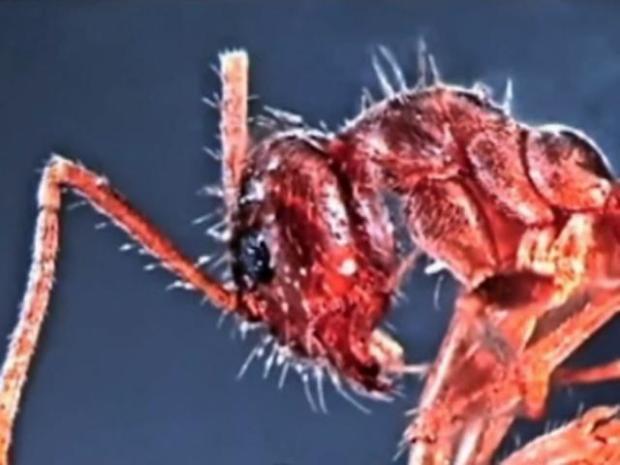 [DFW] Crazy Ants Invading Texas