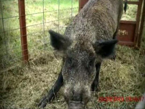 [DFW] Feral Hogs Move Into Southwest Irving