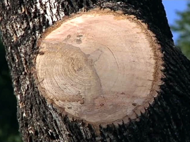 "[DFW] Tree ""Butchering"" Cuts Property Values: Lakewood Man"