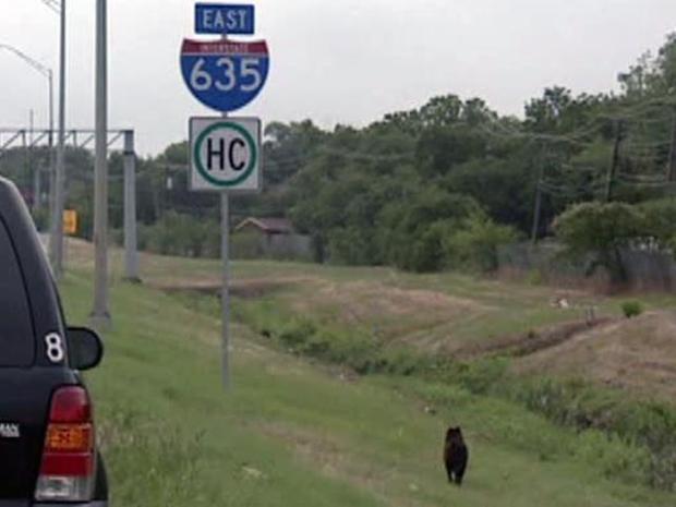 [DFW] Mischievous Mutt Snarls Freeway Traffic