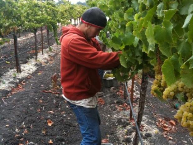 [BAY] Rush to Harvest in Wine Country