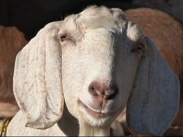 [DFW] No Goats, No Glory for Local Cheesemaker
