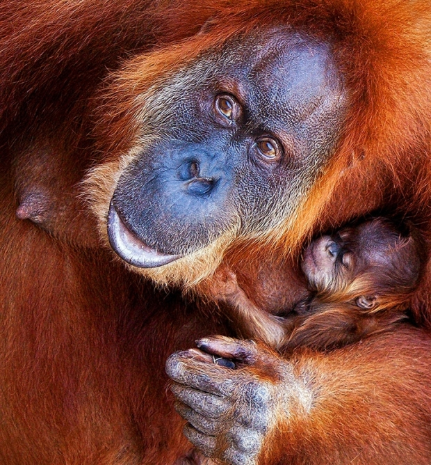 Fort Worth Orangutan Finds Home in Atlanta