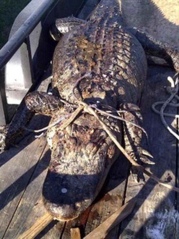 Gator Measuring 11.5 Feet Killed