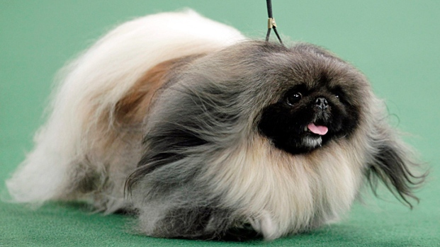 Show Dogs: Westminster 2012