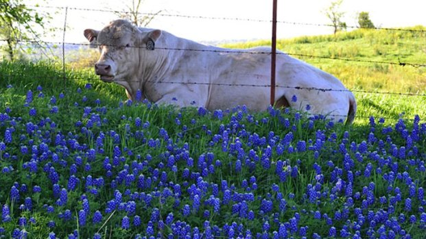 Bluebonnets in Bloom