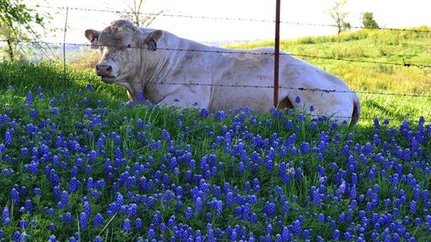Bluebonnets in Bloom