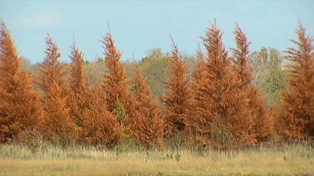 [DFW] Texas Christmas Tree Farms Hit Hard by Drought