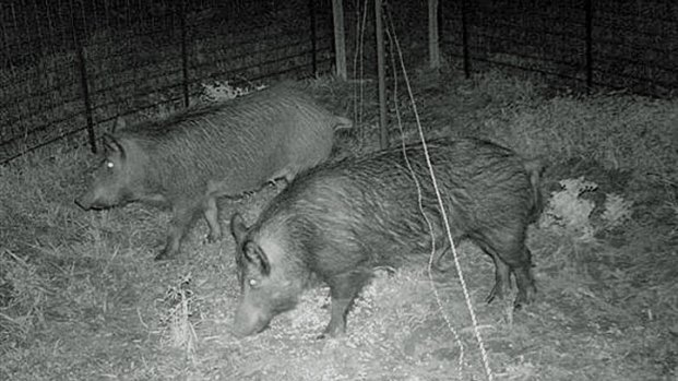 Cameras Capture Feral Hogs