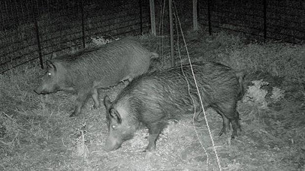 Cameras Capture Feral Hogs