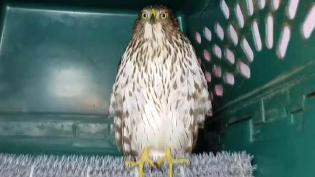 [DFW] 'Harvey' the Hurricane Hawk Ready for Release in Plano