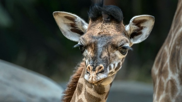 Adorable Zoo Babies: Female Masai Giraffe