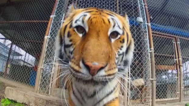 [DFW] Cameras Take You Inside Tiger's Den