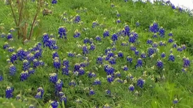 [DFW] Bluebonnets Spring Up in North Texas