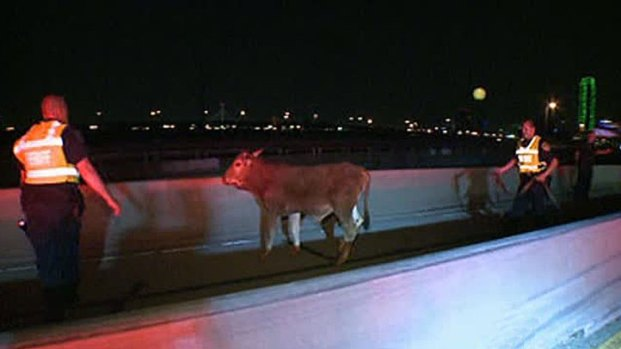 [DFW] Cattle Crash Shuts Down I-35E in Dallas