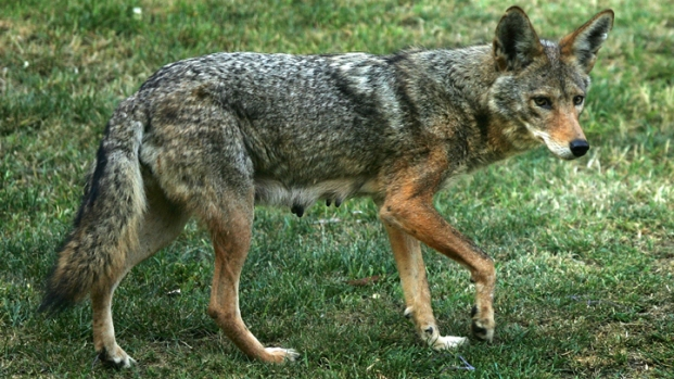 [DFW] Coyote Sightings Prompt Lewisville to Hold Class for Residents