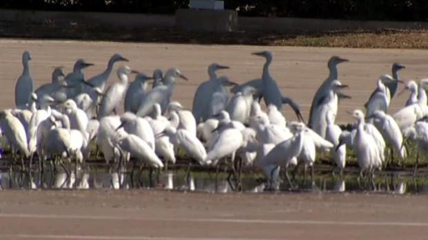 [DFW] Pleasant Grove Has a Very Fowl Problem