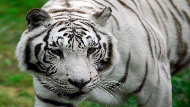 [DFW] Fourth Big Cat Dies of Distemper at Wylie Sanctuary