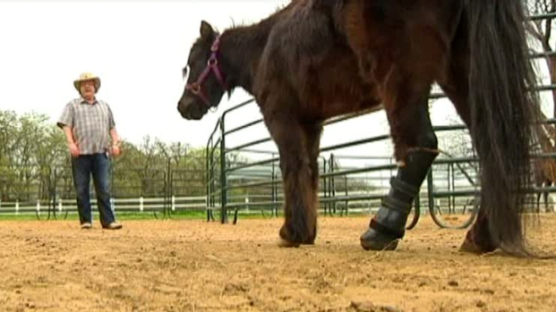 [DFW] Mini Horse With Prosthetic Leg Stands His Ground
