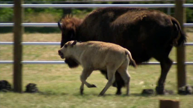 [DFW] Owners Questioned About Death of Rare White Buffalo