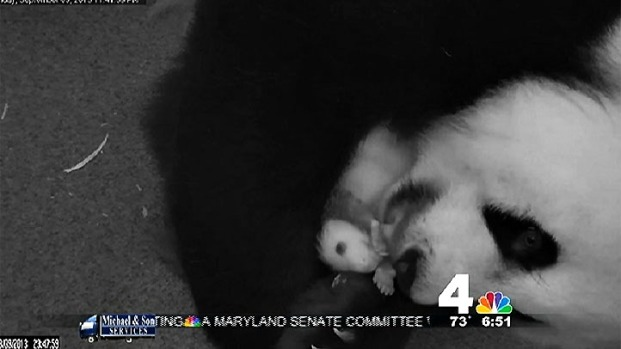 [NATL-DC] WATCH: Panda Mom Grooms Tiny Cub