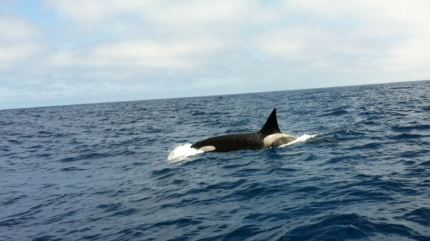[DGO] Killer Whales Spotted in San Diego