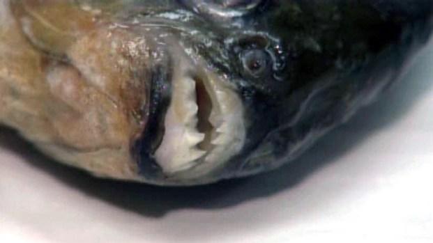 Flesh-Eating Piranha Caught in Texas Lake - NBC 5 Dallas-Fort Worth