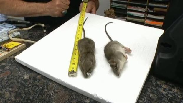 [DFW] Rats Invade North Texas