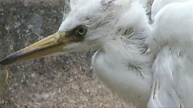 [DFW] Egret Invasion Stinks Up Carrollton