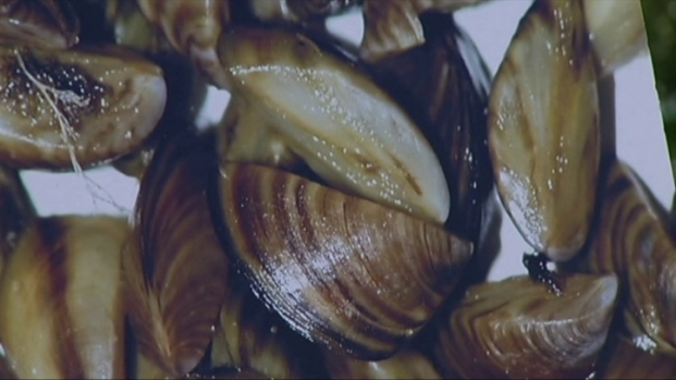 [DFW] Zebra Mussels A Threat to Area Lakes