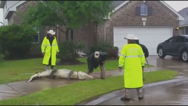 Alligator Found in Texas Neighborhood