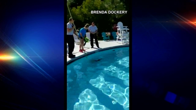 Alligator Rescued From YMCA Pool