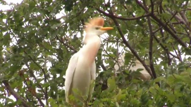 Arlington Neighborhood Inundated By Hundreds of Egrets