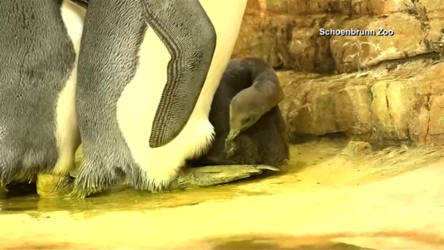 Baby Penguin Premieres At Zoo